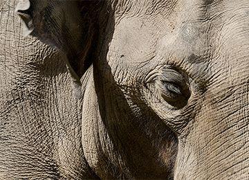 L'oeil et l'oreille d'un éléphant au zoo Le PAL