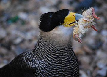 Un Caracara huppé mangeant un oiseau au parc animalier Le PAL en Auvergne