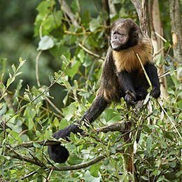 Un Capucin à poitrine jaune dans les branches d'un arbre au zoo Le PAL