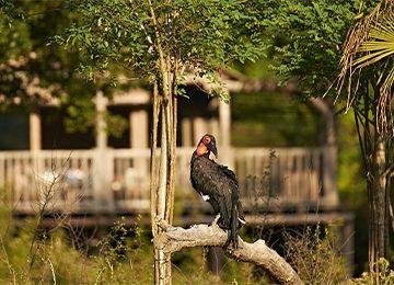 Calao terrestre de Leadbeater sur un arbre au parc animalier Le PAL