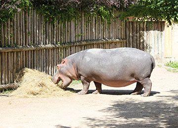 Hippopotame du PAL mangeant du foin