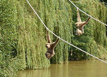 Deux gibbons suspendus à des cordes au parc animalier Le PAL