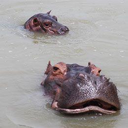 2 hippopotames profitant de l'eau du lac africain au parc animalier Le PAL