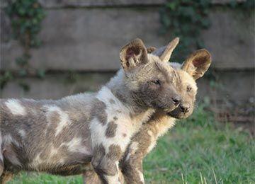 Deux Lycaons au parc animalier Le PAL dans l'Allier