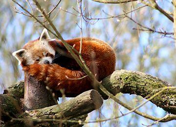 Un panda roux qui dort au zoo Le PAL