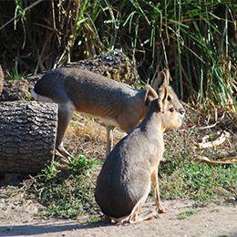 Deux maras sur un chemin de terre au parc zoologique Le PAL