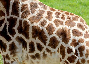 Le corps d'une girafe au zoo Le PAL