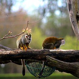Deux Saïmiris jaunes sur un morceau de bois au parc animalier Le PAL
