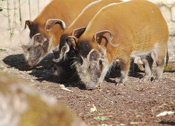 des potamochères reniflant le sol au zoo Le PAL dans l'Allier