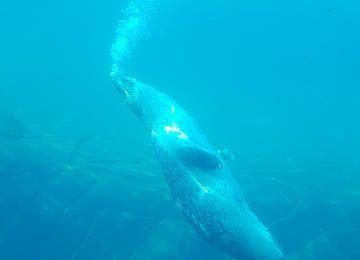 Un phoque qui nage au parc animalier Le PAL