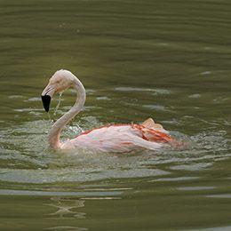 Flamant du Chili nageant dans l'eau au parc animalier Le PAL en Auvergne