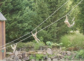 Trois gibbons à mains blanches suspendus à des cordes au dessus de l'eau au parc animalier Le PAL