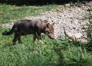 Un petit louveteau qui marche dans l'herbe au parc animalier Le PAL