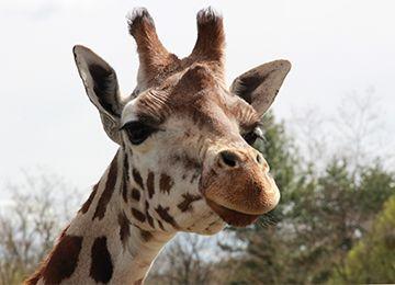 Une girafe regardant la caméra au zoo Le PAL