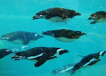 Groupe de Manchots du Cap en train de nager au parc animalier Le PAL