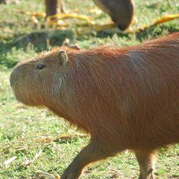 Un Capybara de profil au parc animalier Le PAL dans l'Allier