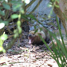 Un Chien des buissons ouvrant la gueule au parc animalier Le PAL