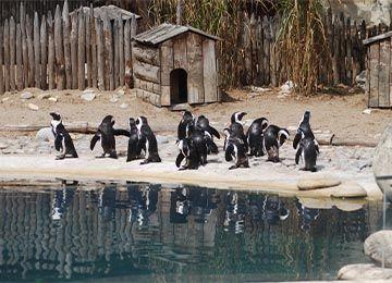 Manchots au parc animalier Le PAL