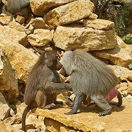 Deux Hamadryas face à face sur des rocher au zoo Le PAL