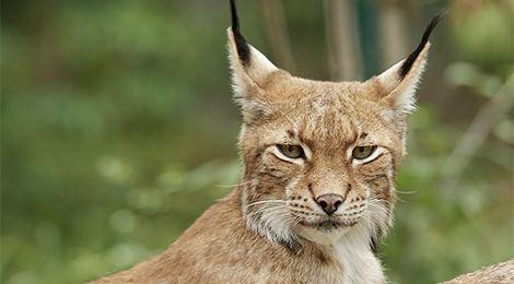 Lynx d'Europe