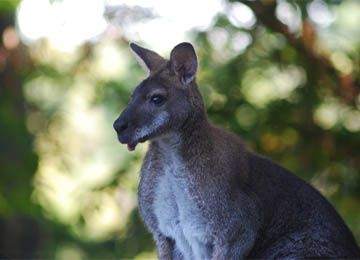 Gros plan sur un wallaby de Bennett au parc animalier Le PAL