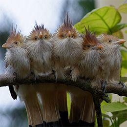 Un groupe de Guira Cantara alignés sur une branche au parc animalier Le PAL