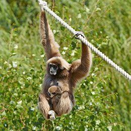 Un gibbon et son petit au parc animalier Le PAL