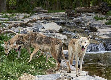 Trois loups au parc animalier Le PAL