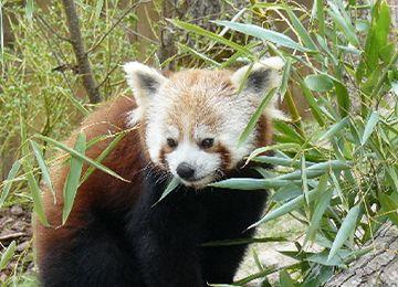 Un panda roux dans les feuillages au parc animalier Le PAL