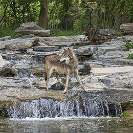 Un loup les pattes dans l'eau au parc animalier Le PAL