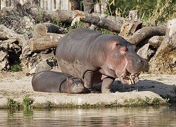 Maman hippopotame et son petit sur la berge du lac du parc animalier Le PAL