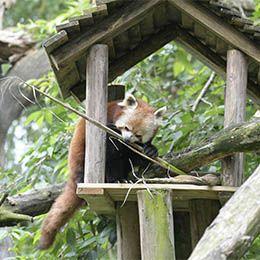 Un panda roux dans sa maison au parc animalier Le PAL