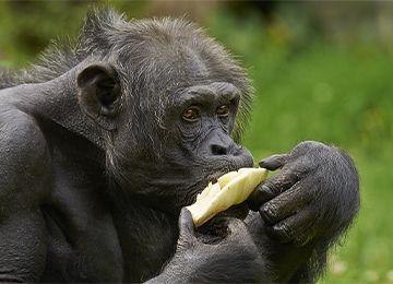 Un chimpanzé en train de manger au parc animalier Le PAL