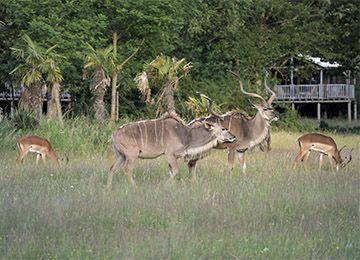 Groupe de Nyalas près des lodges au zoo Le PAL