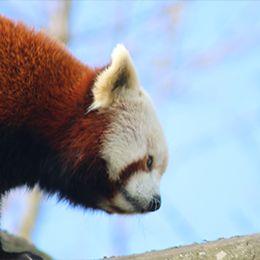 Un panda roux de profil au zoo Le PAL