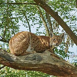 un Lynx d'Europe allongé dans un arbre au parc animalier Le PAL en Auvergne