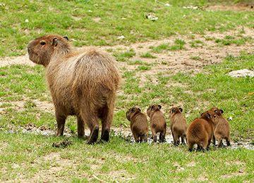 Une mère Capybara et ses petits au parc animalier Le PAL en Auvergne