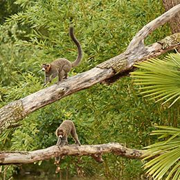 Deux Lémurs à collier blanc perchés dans un arbre au parc animalier Le PAL dans l'Allier