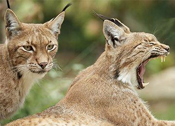 Deux Lynx d'Europe au parc animalier Le PAL dans l'Allier