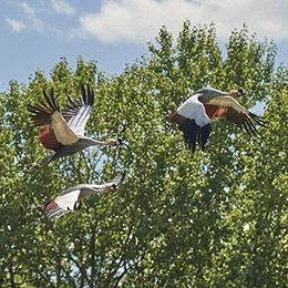 Trois grues couronnées en plein vol au zoo Le PAL en Auvergne