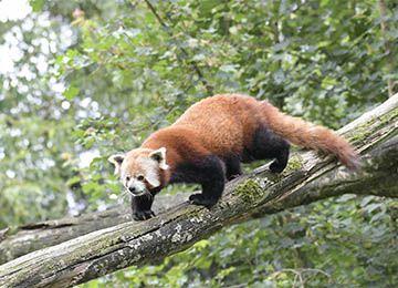 Un panda roux descendant d'un arbre au parc animalier Le PAL