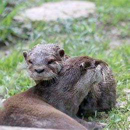 Une maman loutre d'Asie et son petit au parc zoologique Le PAL en Auvergne