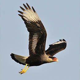 Un Caracara huppé en plein vol au parc animalier Le PAL