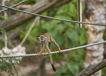 Un Saïmiri jaune se tenant sur une corde au parc zoologique Le PAL