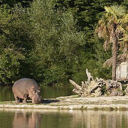 Un hippopotame broutant de l'herbe au zoo Le PAL