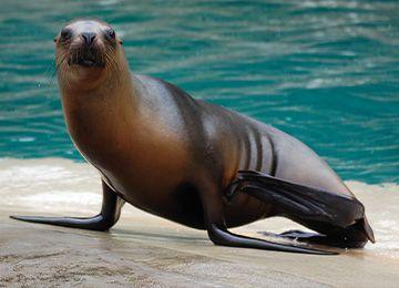 Une otarie au bord de l'eau au zoo Le PAL