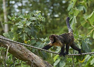 Un Capucin à poitrine jaune marchant sur une corde au parc animalier Le PAL