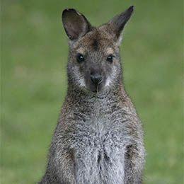 un wallaby de Bennett dans l'herbe au parc animalier Le PAL