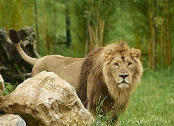 lion d'Asie derrière un rocher au parc animalier Le PAL en Auvergne