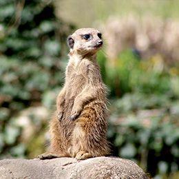 Un suricate sur une pierre au zoo Le PAL